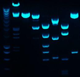FITC Fluorescence